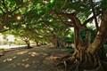 Old Ficus