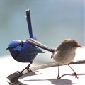 Male and female Blue wrens