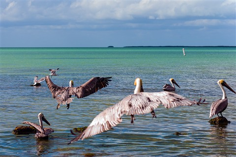Pelican Posse forming at Key Largo, Florida (Pelecanus occidentalis)
