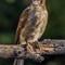 Juvenile butcher bird with foot problem