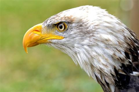 Eagle Nose