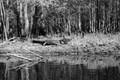 Hillsborough gator