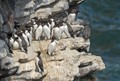 Common murres colony on the cliffs