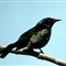 CommonGrackle5