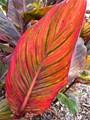 Canna Leaf, With Attitude!