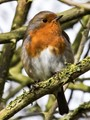 Attention -seeking European robin (Erithacus rubecula).