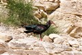 nothern bald ibis from Turkey