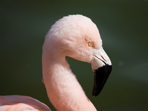 FlamingoCropped_Zoo_0006