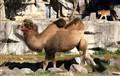 Camel Stalking