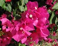 Mexican Bougainvillea