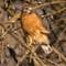 Red Shouldered Hawk South of Olathe KS   002   01 27 17