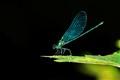 Calopteryx maculata...