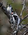 Downy Woodpecker Pair