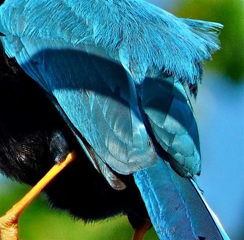 Yucatan Jay 160940_2