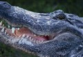 Alligator Smiling
