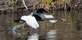 Black Swan take off