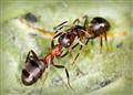 Ants Trophallaxis