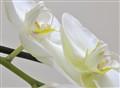 Orchids-cut