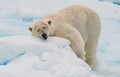 polar bear sleeping on ice floe