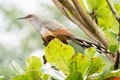 Hispaniolan Lizard-Cuckoo (Saurothera longirostris)