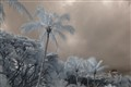 Coconut palm in IR