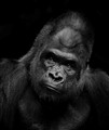 CPN 3 Gorilla B&W in shadow