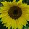 Sunflower (40 of 107)