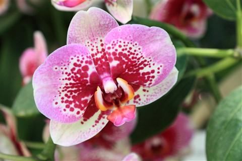 Orchid_Mainau_Konstanz_085