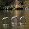 parallel flight (greylag gooses)