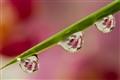 Phalaenopsis Bubles