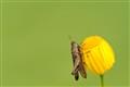 Grasshopper on a yellow flower