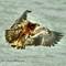 Juvenile Bald Eagle 1047