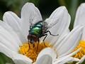 A Feeding Fly