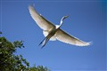 Soaring Great Egret