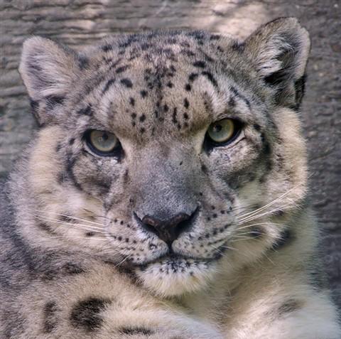 snowleopard6sm