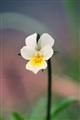 White Viola Tricolor