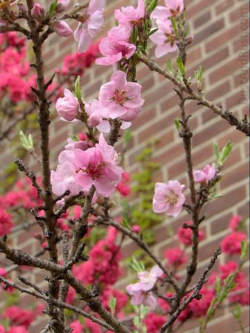 nyc_blossom2_large