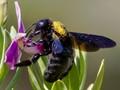 Violet Carpenter Bee (Xylocopa violacea).