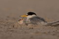 Least Tern chick...