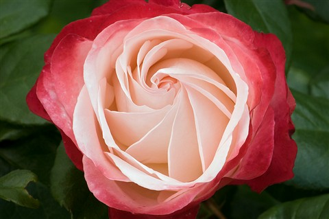 rose-d300-05693-2
