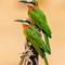 White-fronted Bee-eaters: