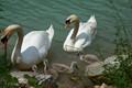 Family Swan