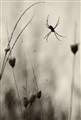 Melancholic Spider