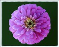 Large Purple Zinnia