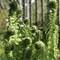 unrolling ferns