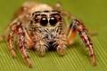 ipsey wipsey spider
