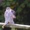 Sparrowhawk_01