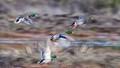 Ducks flying motion blur