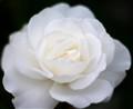 rose for bride