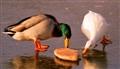 Duck down!